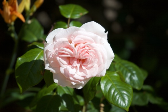 Rose Desire