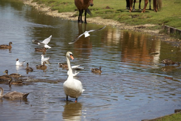 Swan, ducks, gulls, ponies