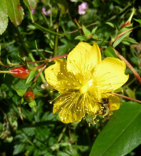 Bee on St John's Wort