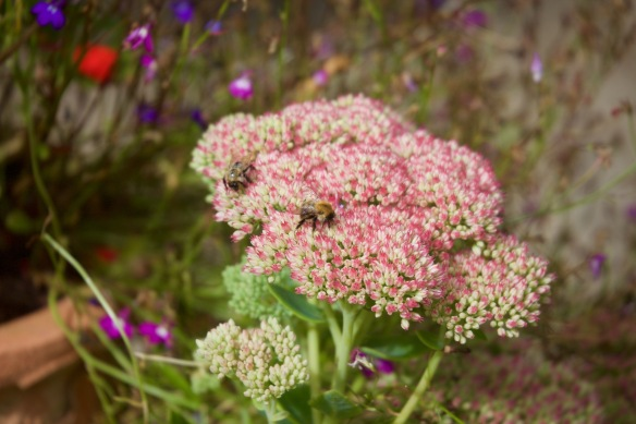 Bees on ice plant
