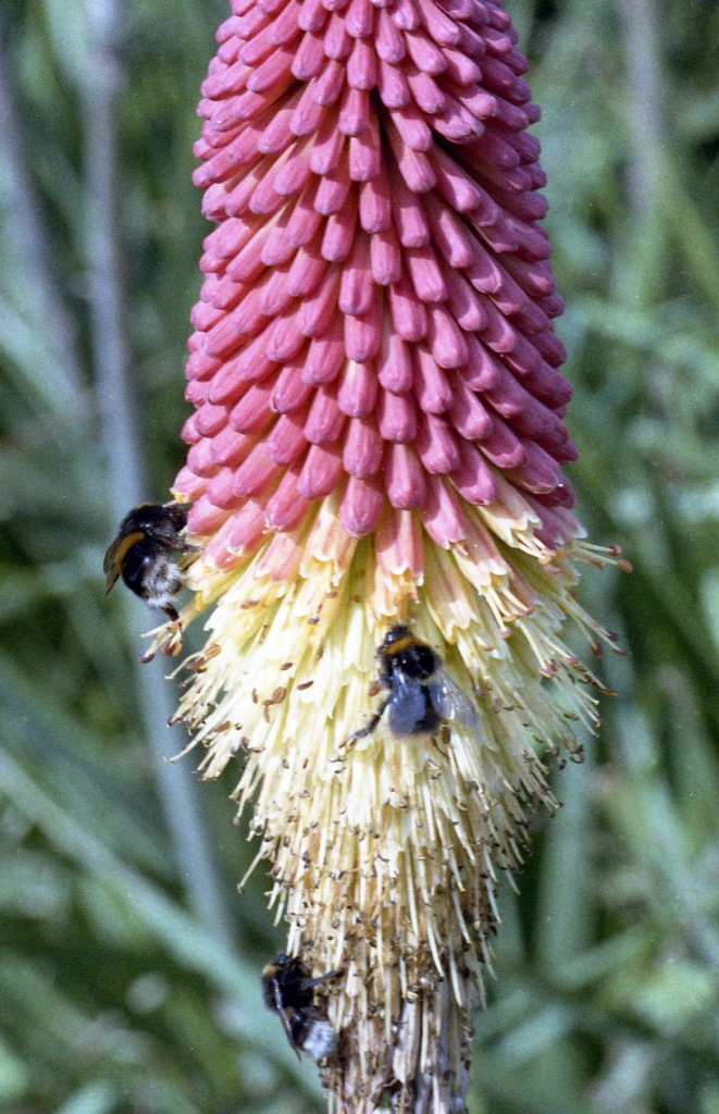 Bees on kniphofia 1985