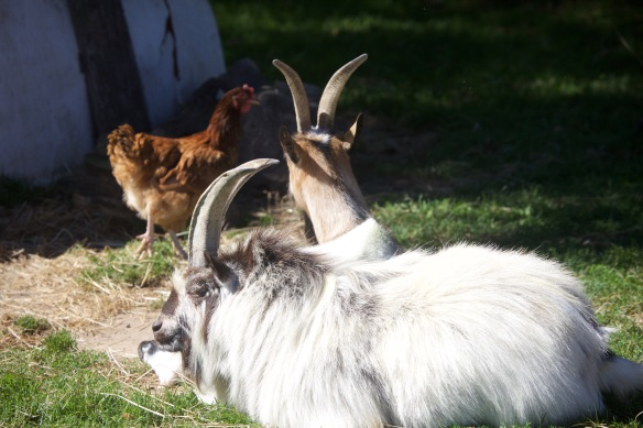 Goats and chicken