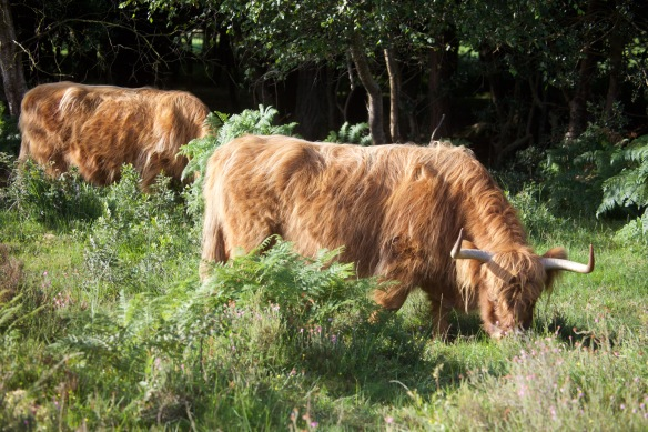 Highland Cattle 1