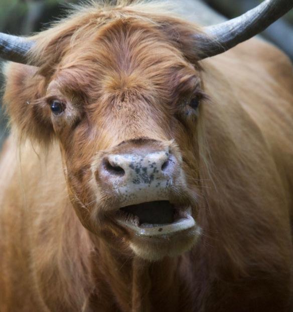 Highland Cow 10