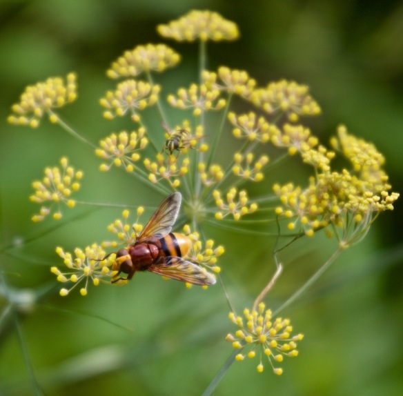 Hoverflies on fennel