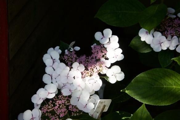 Hydrangea Lanarth White