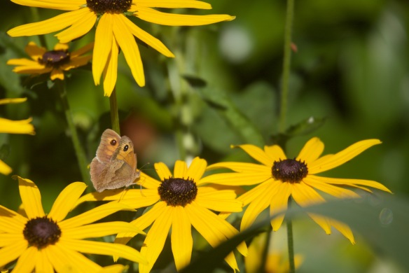 Meadow Brow butterfly on rudbeckia 1