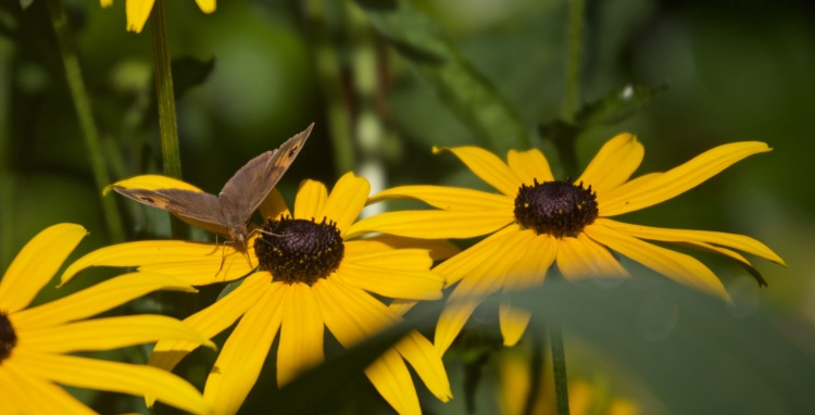 Meadow Brown butterfly on rudbeckia 2