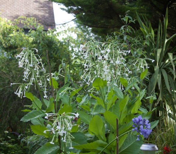 Nicotiana and agapanthus