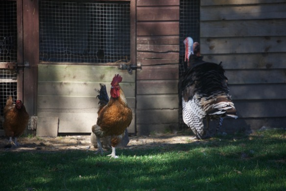 Rooster, chicken and turkey