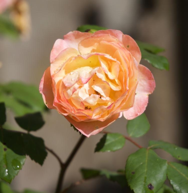 Rose Emma Hamilton
