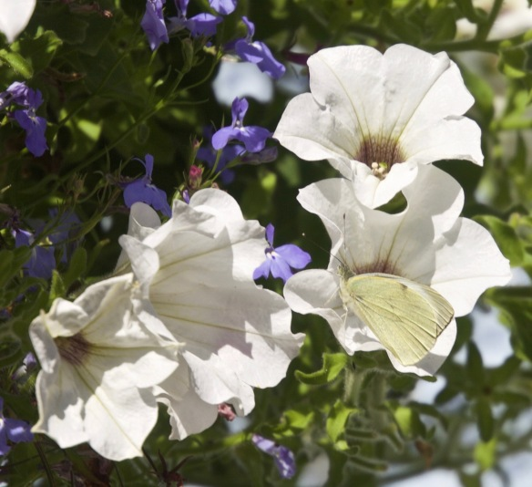 Butterfly Small White on petunia