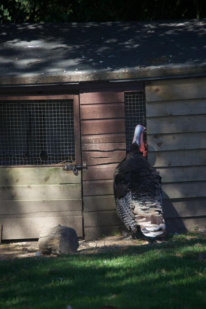 Turkeys 2