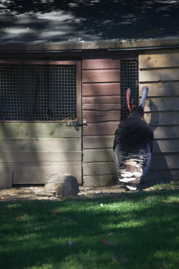 Turkeys 3