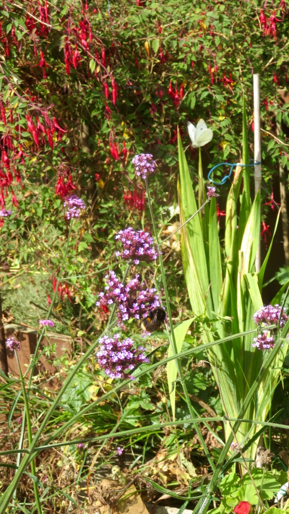 Bee and small wihite butterfly, verbena bonarensis and fuchsia