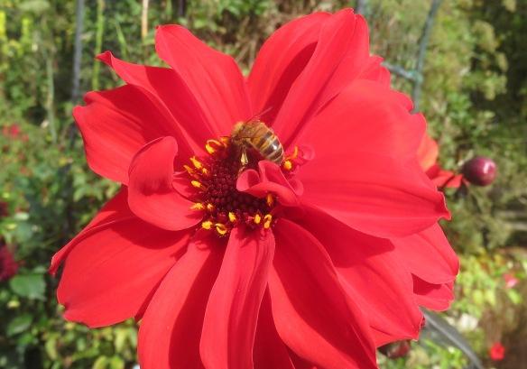 Bee on dahlia 2