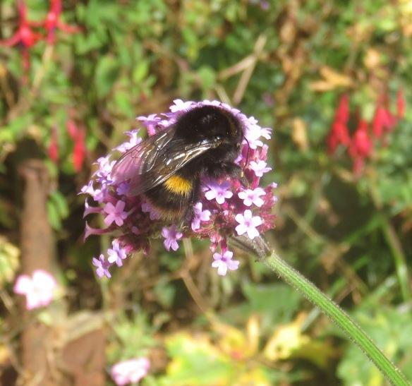 Bee on verbena bonarensis