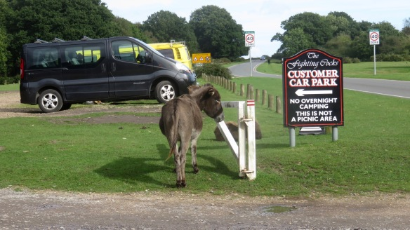 Donkeys in car park 1