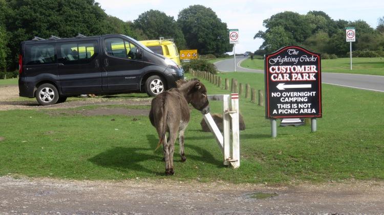 Donkeys in car park 1