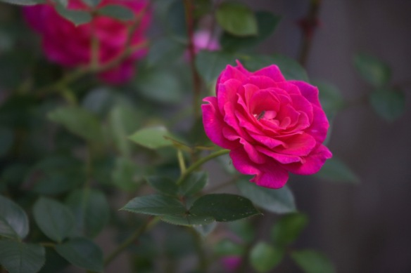 Rose Gloriana