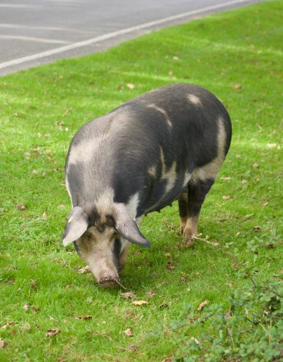 Gloucester Old Spot pig 1