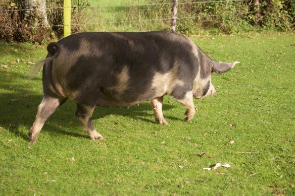 Gloucester Old Spot pig 2