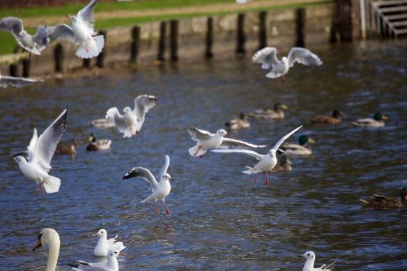 Gulls in flight 1