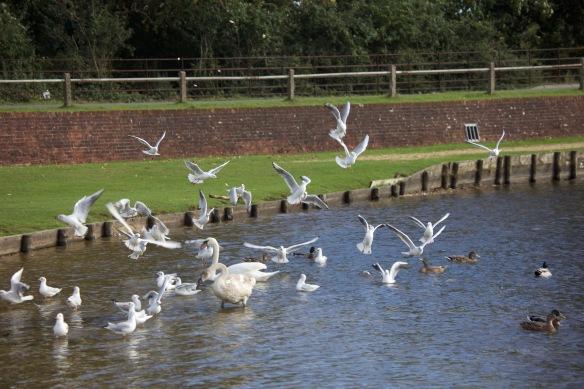 Gulls in flight 2