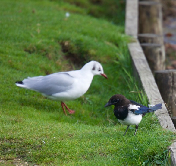 Magpie and gull