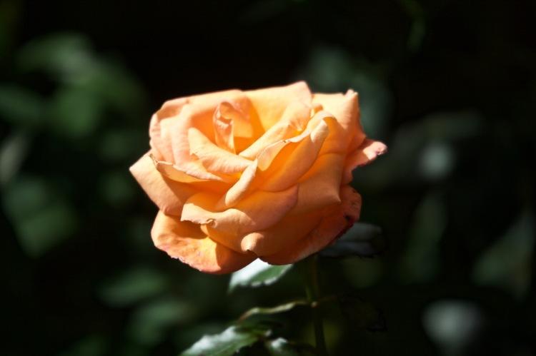 Mamma Mia rose