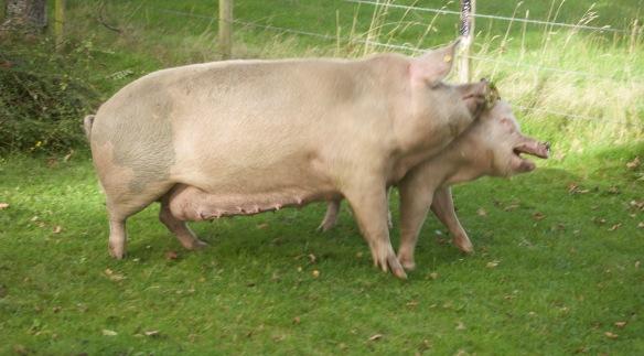 Pig head butt