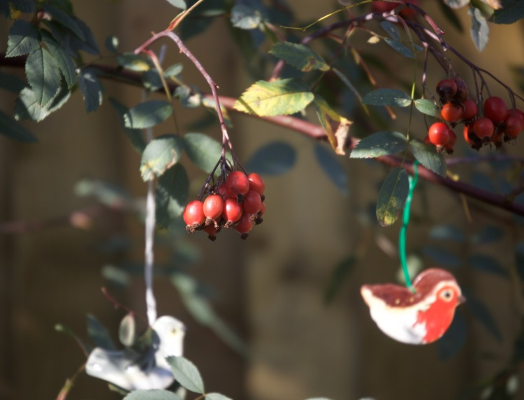 Rosa Glauca hips and robin