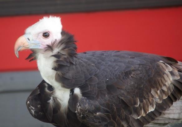White Headed Vulture 2