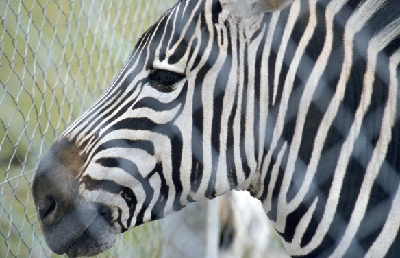 Zebra 9.82