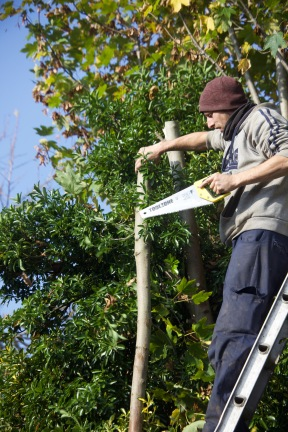 Aaron pruning sycamore 2