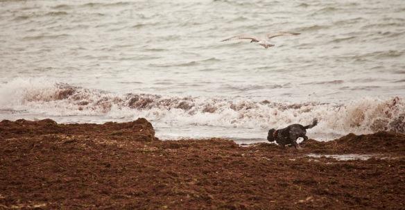 Dog, gull, seaweed