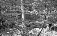 Woodland scene 1985 6