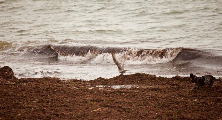 Wave, Gull, Dog, seaweed