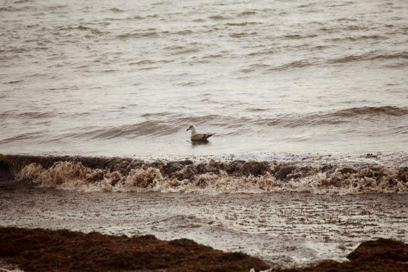 Gull surfing