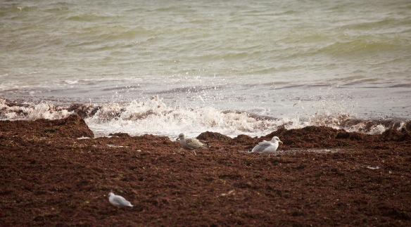 Gulls, seaweed, spray