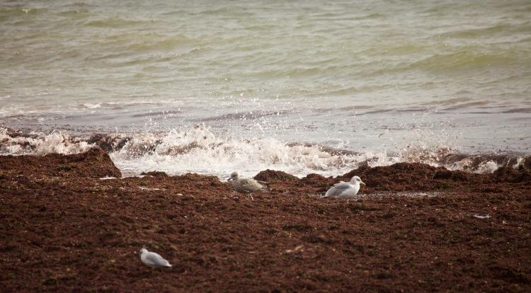 Gulls, seaweed, spray