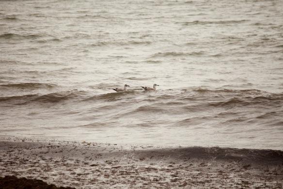 Gulls surfing