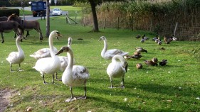 Swans and donkeys