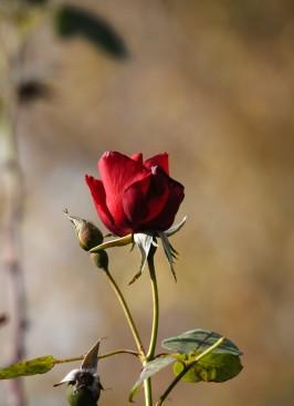 Rose Altissimo
