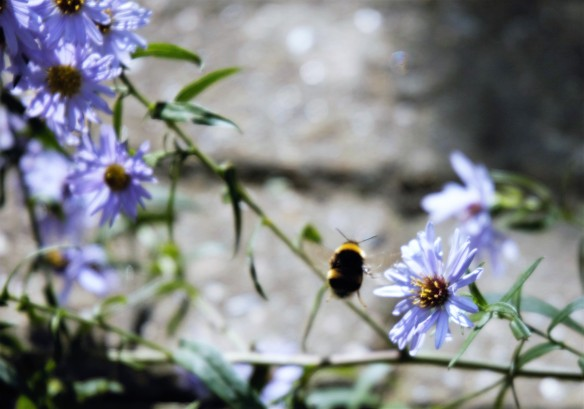 Bee and asters