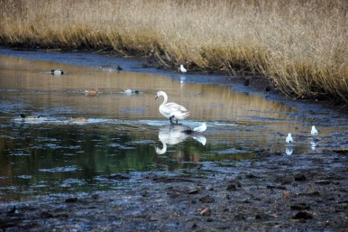 SwansSwans and gulls on Beaulieu River