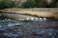 Swans and gulls on Beaulieu River