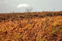 Bracken and dead trees