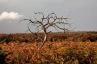 Bracken and dead tree