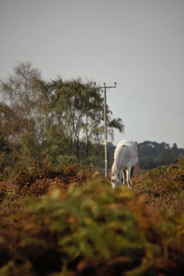 Pony in bracken